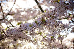 Cherry Blossoms - 1 (cookedphotos) Tags: pink toronto flower tree nature beautiful beauty rose canon japanese spring highpark sakura cherryblossoms buds magichour 5dmarkii