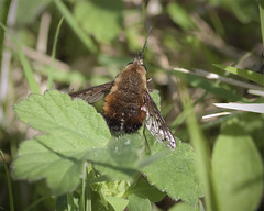Dotted Bee-Fly (Bombylius discolor) (John (Gio) * OVER 100,000 VIEWS *) Tags: macro nature closeup insect kent wildlife olympus gio zuiko denton diptera beefly kwt fourthirds nbw dentonbank bombyliidae kentwildlifetrust bombyliusdiscolor dottedbeefly zuikodigitaled50mm120macro