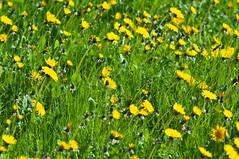 Dandelions (kh1234567890) Tags: grass manchester pentax dandelion fallowfield k7 smcpentaxm135mmf35 lombardgrove smcpm135mmf35