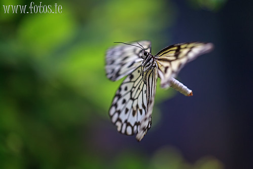 In-flight Butterfly