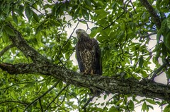 Watching the Camera (shrinksteve) Tags: nature birds animals wildlife wv eagles raptors beechfork taxonomy:binomial=haliaeetusleucocephalus pentaxk5iis