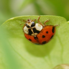 hanging upside-down (aokcreation) Tags: macro green nature closeup garden insect backyard wildlife ladybug blinkagain sonyslta65v