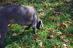 (Shane Henderson) Tags: autumn dog green fall grass leaves weimaraner cleo northpark mccandlesstownship