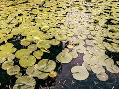 Sun Yat-Sen (mouellic) Tags: street camera travel canada apple vancouver photography pond britishcolumbia candid nelson carp visuals lilypad 604 vancity iphone bespoke simplest mouellic thesimplestcamera smplst