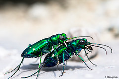 guttata have it (blacqbook) Tags: blue two toronto macro green nature rock bug hair insect ilovenature togetherness spring eyes colorful legs metallic small beetle spots mating creature antenna blacqbook cicindelasexguttata sixspottedtigerbeetle