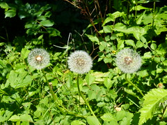 Three O'Clock Dandelions (Gilder Kate) Tags: surrey dandelion seedhead dandelionclock easthorsley thelovelacebridgetrail