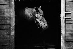 Wild Wild West (guido.masi) Tags: blackandwhite bw horse canon eos florence bn firenze cavallo biancoenero 550d lerose tamron70200f28 guidomasi