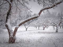 Apple Orchard in Snow (polalb) Tags: trees snow apple elizabeth maine orchard cape select