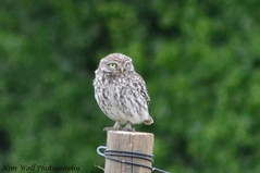 LittleOwl_16062013_7a (Kim Wall Photography (Purplesun2001)) Tags: somerset littleowl nyland kimwallphotography