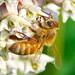 A Honeybee on Milkweed