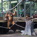 orangutan - toronto zoo - 17