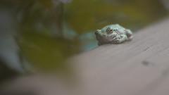 Don't BOTHER me !!!.jpg (Bob's Corner) Tags: frog