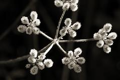(Bob Diekmeier) Tags: morning light plant seeds dew pods