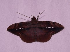 NMW - Moth 3 (Dis da fi we) Tags: moth puntagorda toledo belize mothweek nationalmothweek lepidoptera insect nightflying hickateebelize hickateepuntagorda jungle rainforest forest wildlife culture cottages hickatee