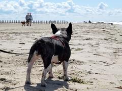 watch for the dog (Geziena) Tags: strand zee ameland hondje buldog franse