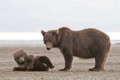 Coastal brown bear cub and mama (pilapix) Tags: bear wild brown playing beach nature water alaska cub sand eyecontact wildlife pebbles mama grizzly wilderness sow katmai hallobay