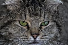 Shadow (LynxGT) Tags: shadow pet cat sombra gato felino mascota