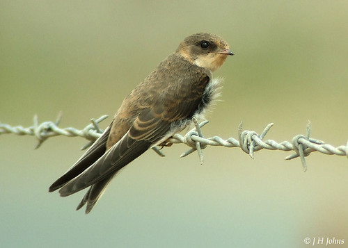 "Sand Martin ( J H Johns) • <a style=""font-size:0.8em;"" href=""https://www.flickr.com/photos/30837261@N07/10723058656/"" target=""_blank"">View on Flickr</a>"