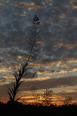 Rithet's Bog Sunset (Shayne Kaye) Tags: sunset canada flower silhouette clouds bc britishcolumbia victoria bog rithets