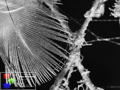 The Entanglement (Brian D' Rozario) Tags: blackandwhite bw macro metal closeup grey nikon web details flash gray feather dirty cobweb dirt dhaka dust bangladesh bnw cls creativelightingsystem d7k d7000 silverefexpro2 briandrozario brian19869