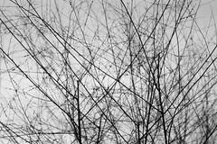 Tangle (_HMC_) Tags: trees winter light shadow sky bw white snow black cold tree dark sticks mixed mix mess noir hiver ciel arbres twig stick neige dim twigs tangle melange arbre blanc jumbled froid jumble tangled