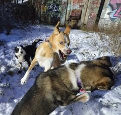 Beast Mode (biglandhynes) Tags: dog playing dogs newfoundland husky stjohns pack sleddog