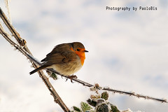 The Christmas's robin _ 02 (PaoloBis) Tags: schnee animal weihnachten navidad nieve olympus neve getty neige nol eis natale fro freddo froid oiseau hielo animale tier vogel gettyimages glace rougegorge pjaro petirrojo uccello ghiaccio klte rotkehlchen e500  pettirosso      paolobis