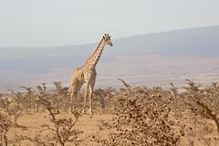 Giraffe by Ngorongoro Crater (ynaka29) Tags: africa canon tanzania giraffe