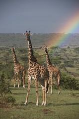 Masai giraffe (Giraffa camelopardalis tippelskirchi) (David Nunn) Tags: camp rainbow bush kenya wildlife reserve national mara giraffe masai giraffa conservancy masaimara giraffacamelopardalistippelskirchi camelopardalis tippelskirchi kicheche kichechebushcamp olare olaremotorogiconservancy motorogi