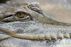 Crocodile (Buggers1962) Tags: nature face closeup canon zoo eyes close crocodile colchester simplysuperb itsazoooutthere canon7d