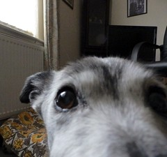 """Look into my big brown eyes! Together Let's do it for M.E.!"" (Cardedfolderol) Tags: pet dogs fur canine mongrel dogsitting fundraisers dogsit whippetcross"