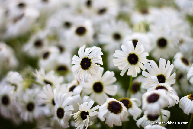 Standing Out Of The Crowd, White Flowers At Leisure Valley, Gurgaon