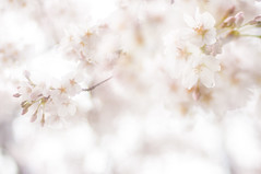 20140330_01_sakura (jam343) Tags: pink flowers flower japan 50mm spring  cherryblossom sakura multi multiexposure
