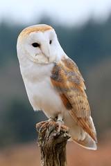 _F1_0239 (www.fozzyimages.co.uk) Tags: wildlife newforest birdsofprey rspb captivelightukcom