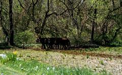 (bluebird87) Tags: man spring team nikon kodak f100 amish epson 100 v600 plowing mules ektar c41 dx0