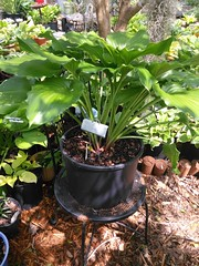 IMG_20140427_110511 (moccasinlanding) Tags: green shiny fragrant hosta irishluck