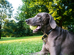 chillin... (VanaTulsi) Tags: dog weimaraner weim blueweimaraner vanatulsi blueweim