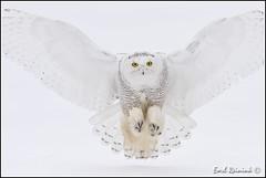 More Snowy Owls (Earl Reinink) Tags: winter snow ontario canada raptor owl earl snowyowl earlreinink reinink heiduuadoa