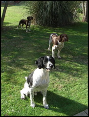 Whats next ? (rufftytufty) Tags: pets dogs grass lawn canine loved pampas springers spaniels breeds