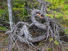 Väändunud puu / Twisted tree