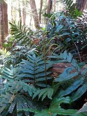 2015-01-26 Westmorland Falls 60 - Blechnum - Water ferns (Cowirrie) Tags: fern frond waterfern blechnaceae blechnum molecreekkarstnationalpark westmorlandfallstrack