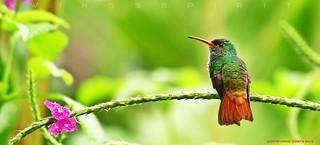 Rufous-tailed Hummingbird, Costa Rica