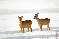 Two-gether in the snow (gallserud) Tags: winter snow vinter hiver neige sn roe chevreuil roebuck rdjur