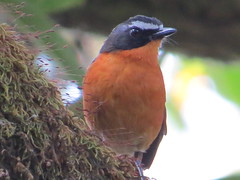 Mountain Robin-chat