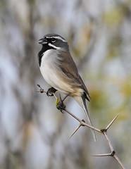 Black-throated Sparrow (rsheath76) Tags: bird texas birding sparrow laredo blackthroatedsparrow