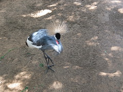 The Grey Crowned Crane is the National bird of Uganda (oldandsolo) Tags: fauna zoo uae abudhabi unitedarabemirates crownedcrane greycrownedcrane wadingbirds balearicaregulorum zoologicalgardens gruidae largebirds aquaticbirds emiratesparkzoo samhaabudhabi