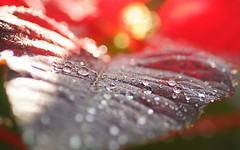 Droplets (judith511) Tags: rain droplets poinsettia dew odc