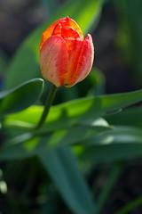 Tulips (sr667) Tags: flowers flower canon tulips tulip plantae tulipa liliaceae liliales ef100mmf28macrousm angiosperms tulipagesneriana lilioideae