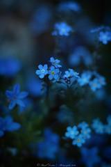 Night blue flowers (Pascal Dentan) Tags: flower me nature fleur night wonderful lumire jardin ne m bleu dont belle histoire pas forget closion haveaniceday forgive myosotis lgende allemande oublie