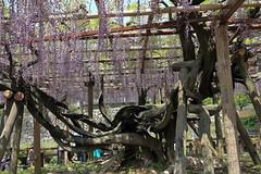 IMG_4691 (bon_j5) Tags: flower tree castle canon fuji odawara eos60d